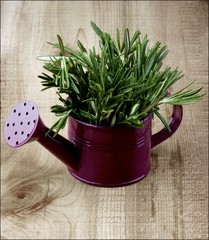Rosemary in Watering Can
