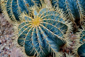 Round shaped cactus. Cactus decor. Cactus flower. Cactus desert. Cactus landscape. Cactus silhouette. Cactus Mexico. Cactus field. Cactus garden. Round cactus Mexico.