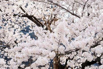 Flower nature background, Beautiful cherry blossom, sakura flower, in park outdoor background, spring time
