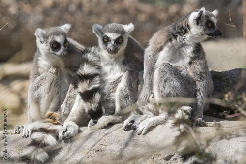 de lemures
