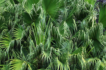 green leaves of palm tree background