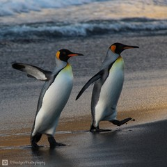 Mates.  King Penguins stay together.