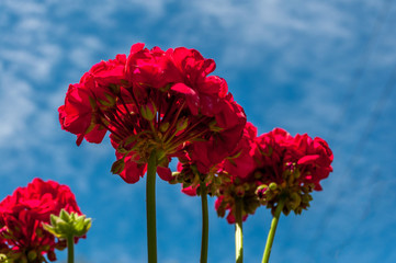 geraniums viewed from below
