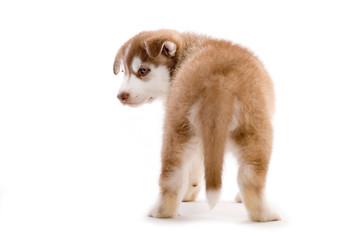 Sibirian Husky Welpe isoliert auf weißem Hintergrund