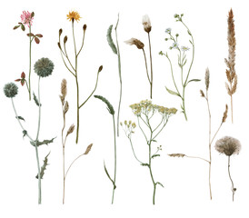 Set of watercolor field's plants isolated on white. Grass.