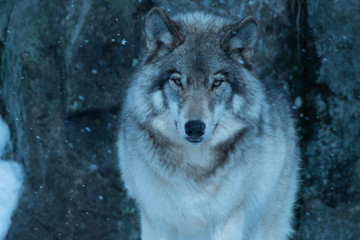 Timber Wolf, Quebec