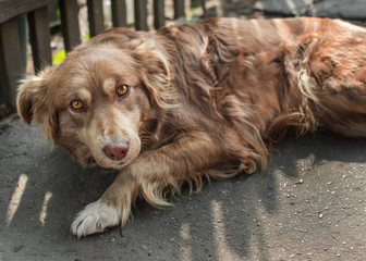 Portrait of cute chained brown or red dog lying or resting on old village yard under wooden fence in shadow. The doggy looking into camera