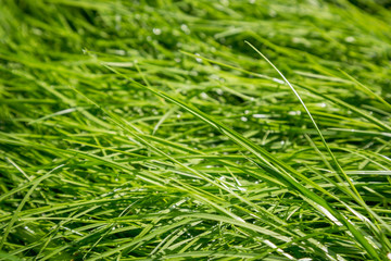 Juicy wet green grass in the morning