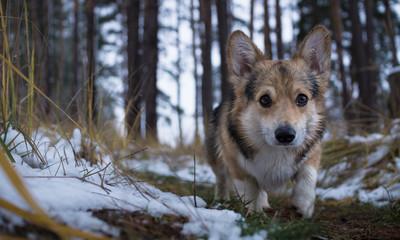 Dog Welsh Corgi Pembroke on a walk in a beautiful winter forest.