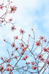 Pink magnolia flowers isolated on white background