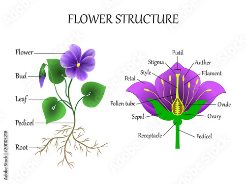 Diagram of violet flower electrical work wiring diagram vector education diagram of botany and biology the structure of the rh fotolia com male flower diagram plant life cycle mightylinksfo