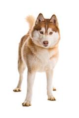 Stehender Sibirian Husky isoliert auf weißem Hintergrund