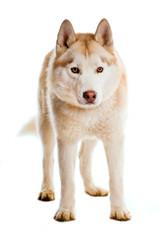 Sibirian Husky isoliert auf weißem Hintergrund