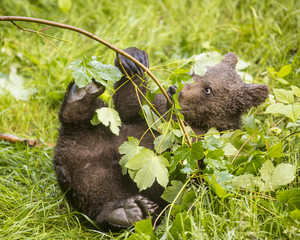 Cute brown grizzly bear cub Ursus arctos playing on fresh grass and playing with small sapling tree by destroying it's trunk. Wildlife photography scene of secret animal family life in nature habitat.