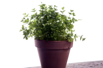 Homegrown and aromatic herb parsley in old clay pot.