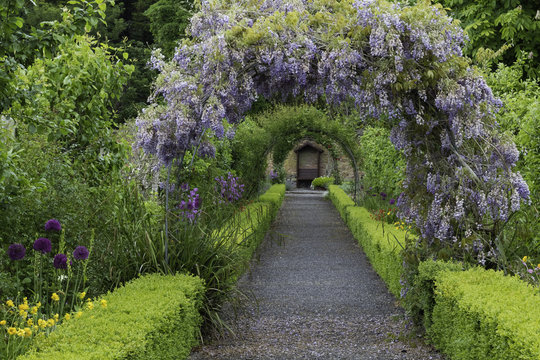 Wisteria flowers arch in the garden