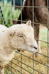 sheep in fence