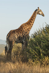 Giraffa, Kruger National Park