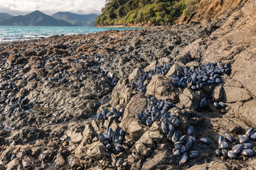 clumps of blue mussels on rocky beach in New Zealand at low tide