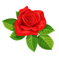 Red rose vector illustration isolated on white background.