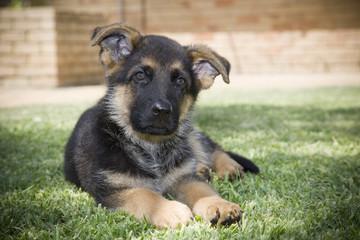 An outdoor portrait of a German Shepherd Puppy