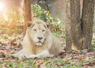Male white lion relaxation under tree shade in natural