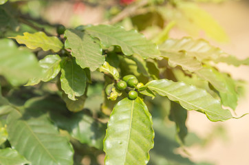 Close up green coffee seeds on tree in coffee plantation