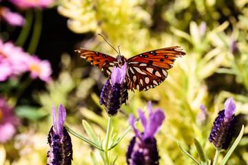 Orange butterfly (Gulf Fritillary) on purple blossoms, in Arizona's Sonoran desert.