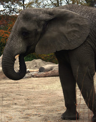 An elephant side profile, uplclose showing its trunk, ears and wrinkled skin.