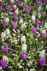 Field of White and Purple Hyacinth Flowers and Daisies in Amsterdam, Netherlands