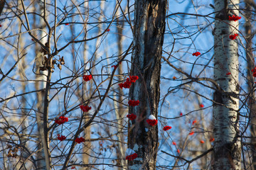 Red berries in woods with blue sky background