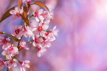 Close up pink Sakura flowers or Cherry blossom blooming on tree in springtime with blue sky