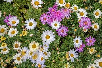 Top view of colorful small daisy flowers