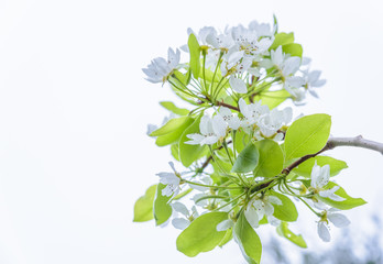 White flowers of a flowering quince