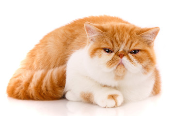Portrait of Red White Exotic Cat.