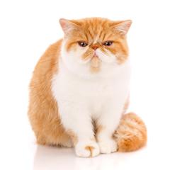 Exotic shorthair cat, , sitting