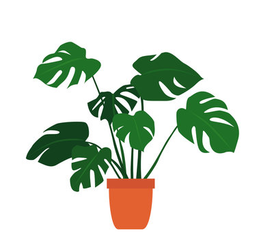 monstera plant in pot on white background