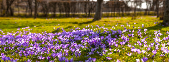 Colorful spring landscape in Carpathian village with fields of blooming crocuses. Blooming purple flowers in the sunny spring day.