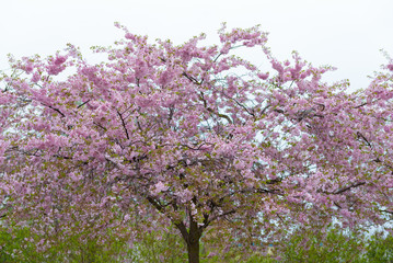 Cherry Blossom in Berlin Prenzlauer Berg