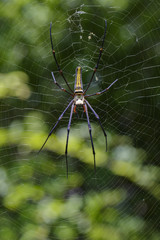 Image of Spider Nephila Maculata, Gaint Long-jawed Orb-weaver in the net. Insect Animal