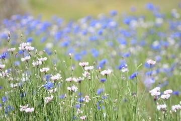 Garden Poster Spring Cornflower / ヤグルマギク 矢車草