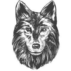 muzzle of a wolf, wildlife hand drawn vector illustration realistic sketch
