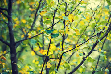Apple tree branches in the garden in autumn