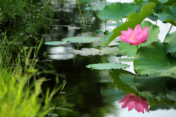 A pink lotus flower blooming among lush leaves in a pond with reflections on the smooth water Lovely pink water lily blooming among lush leaves in a lotus pond under bright summer sunshine
