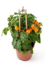 Tomatenpflanze im Blumentopf