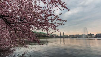 Kirschblüten in Hamburg, an der Alster