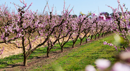 Blossoming of  peach  trees on a  meadows of Europe in spring