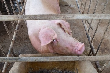 The Pink Pig in a cage,Farm animals,Thailand