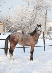 Andalusian grey horse in winter ranch