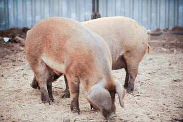 Curious young pigs of Duroc's breed in yard. Concept of small swine farms in southern Russia
